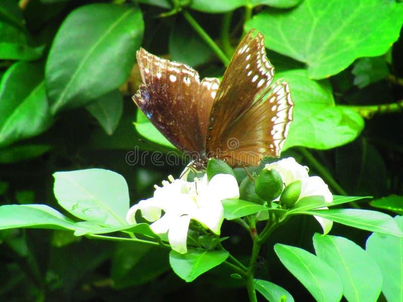 Beautiful butterfly Euploea core, the common crow is a common butterfly , Common Indian crow. stock photo