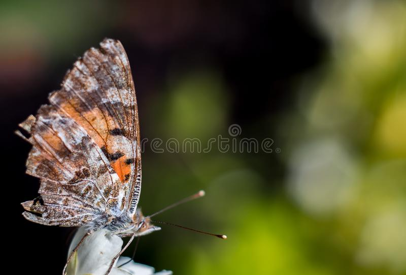 Beautiful butterfly feeding on a jasmine flower royalty free stock images