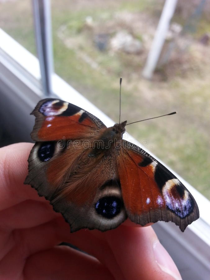 Beautiful butterfly on finger stock images