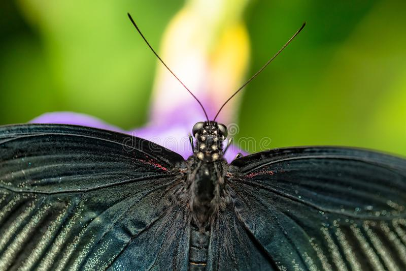 Beautiful butterfly Great Mormon, Papilio memnon in tropical for royalty free stock photos