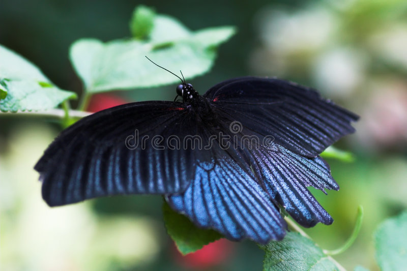 Beautiful butterfly on the leaf. Macro view royalty free stock image