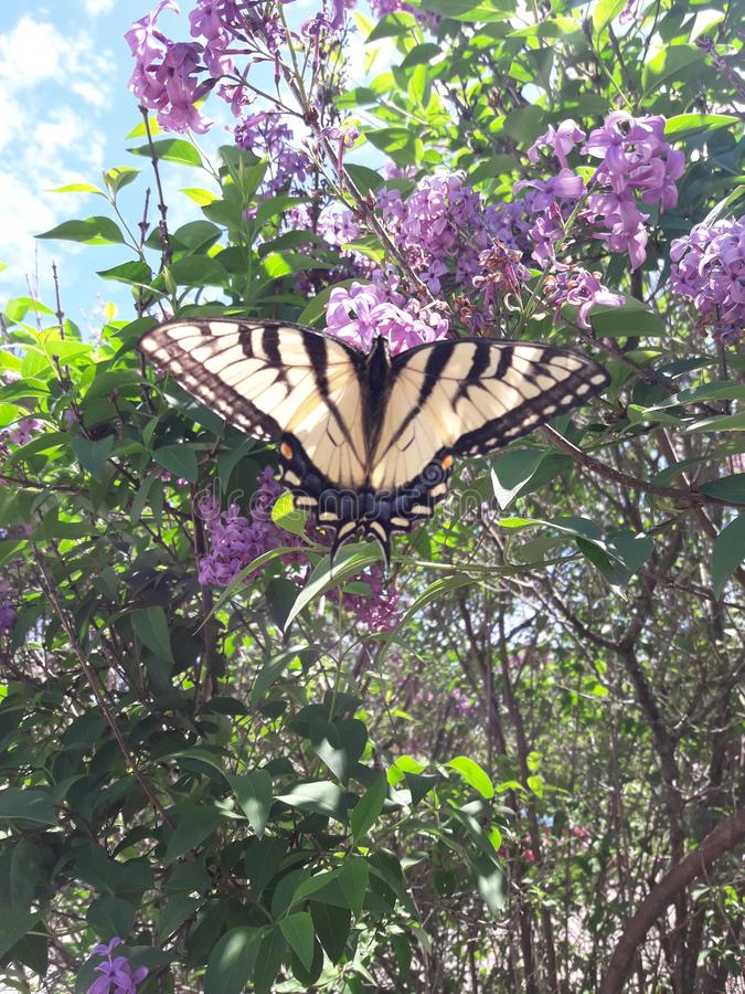 Beautiful butterfly on a lilac Bush on a sunny day royalty free stock photos