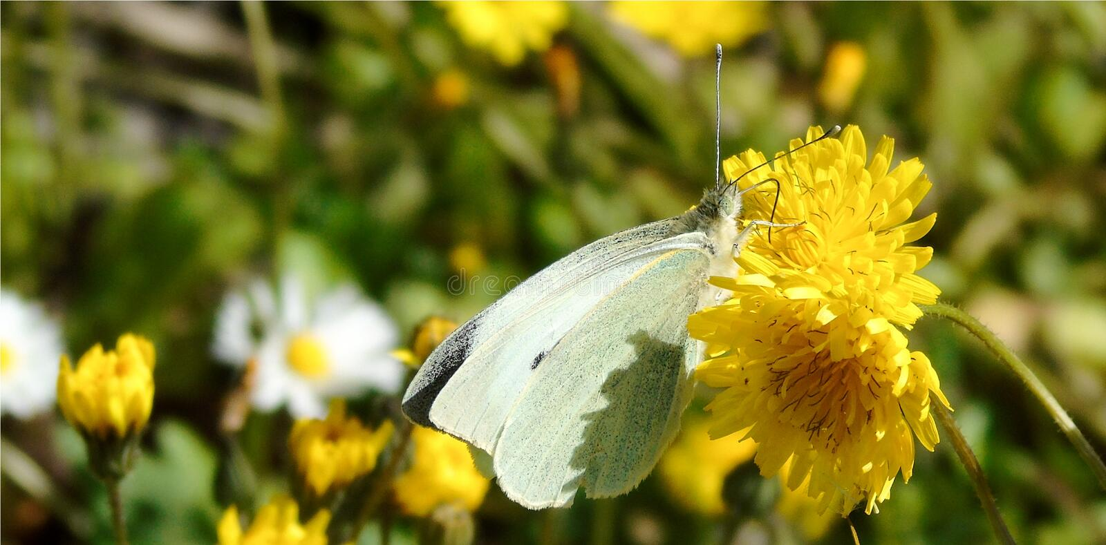 Wallpaper with closeup of white butterfly on yellow flower illuminated on green flowery meadow background stock photo