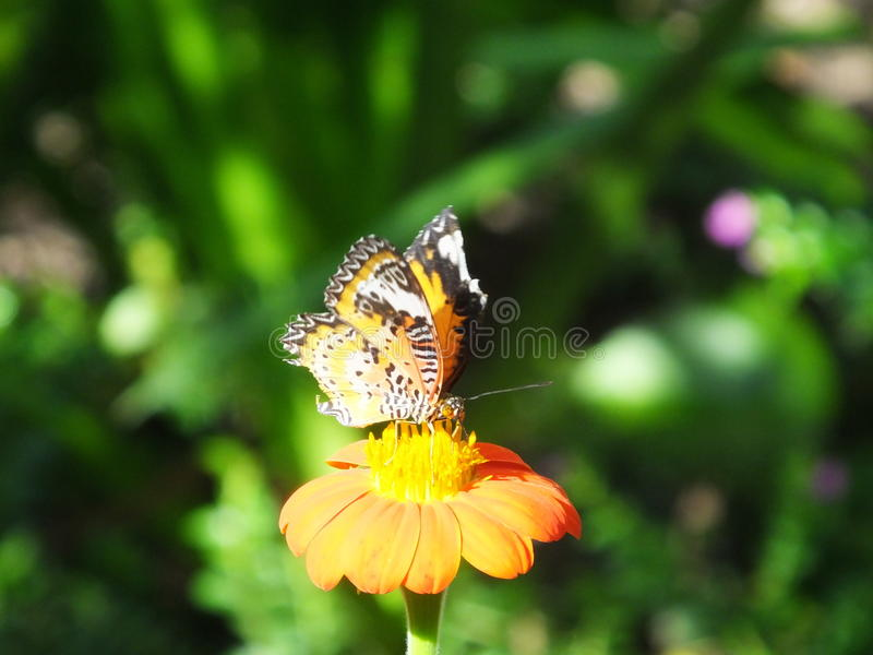 Beautiful butterfly on an orange flower royalty free stock images