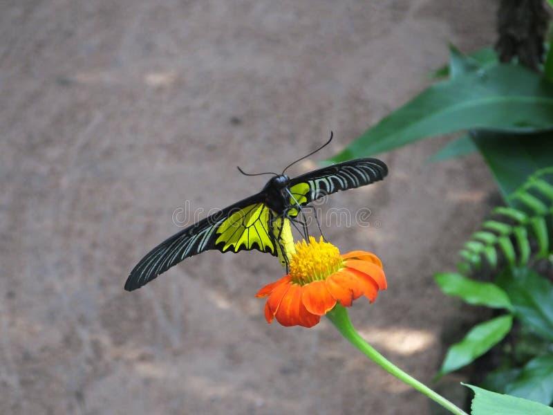 Beautiful butterfly on an orange flower stock image