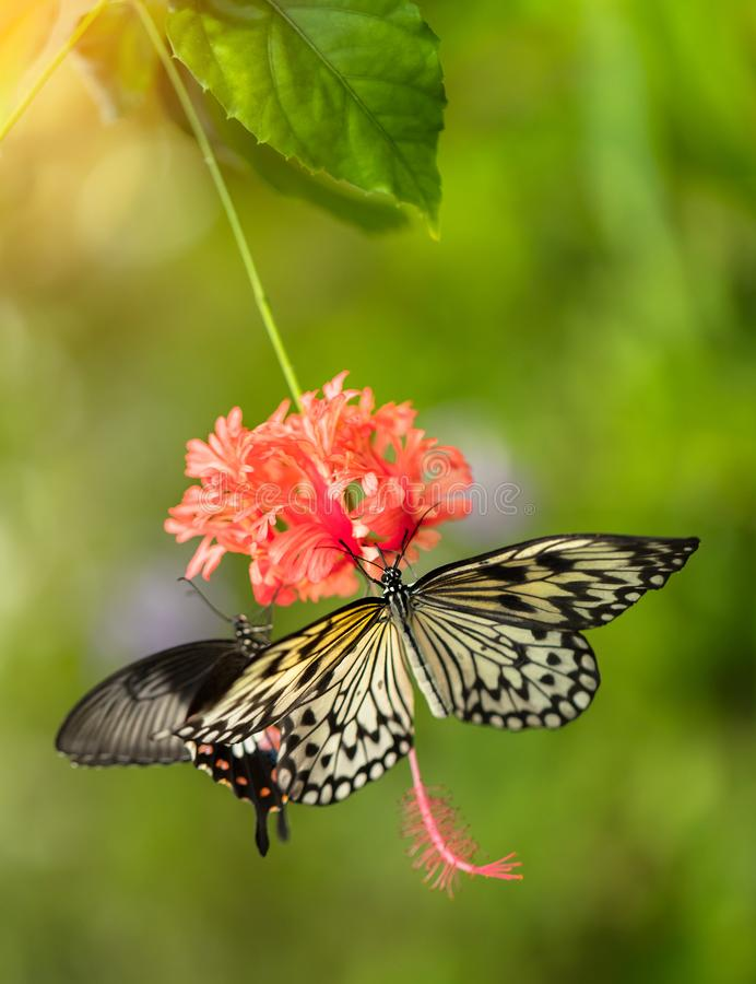 Beautiful butterfly Paper Kite, Idea leuconoe in tropical forest stock image