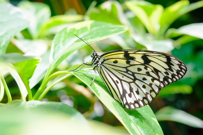 Beautiful butterfly perched on leaf of tropical plant. Macro detail of beautiful black and white butterfly perched on leaf of tropical plant stock photo