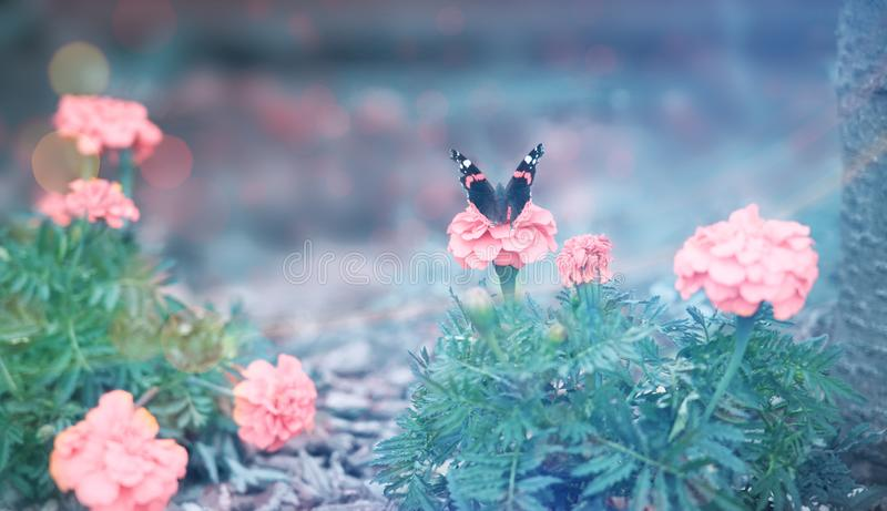 Beautiful butterfly on a pink flower. royalty free stock image