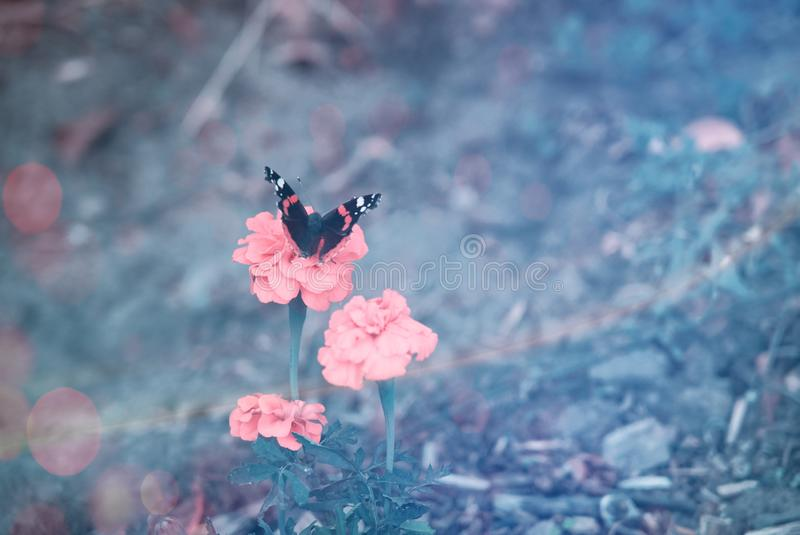 Beautiful butterfly on a pink flower. royalty free stock photos