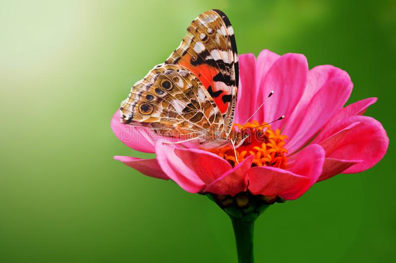 Beautiful butterfly on a pink gerbera in nature royalty free stock images