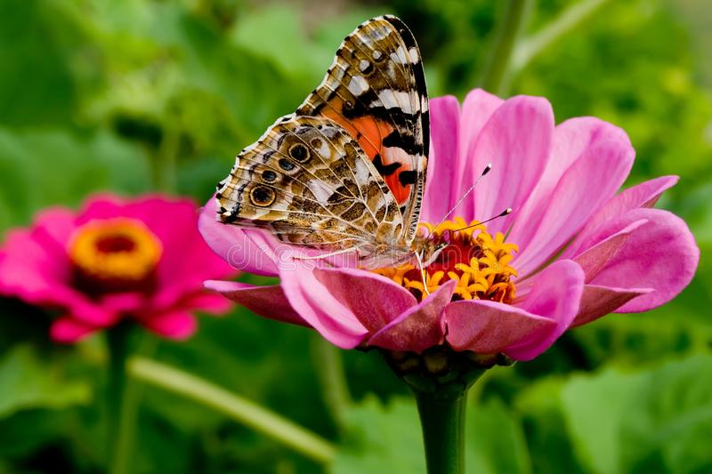 Beautiful butterfly on a pink gerbera in nature royalty free stock image