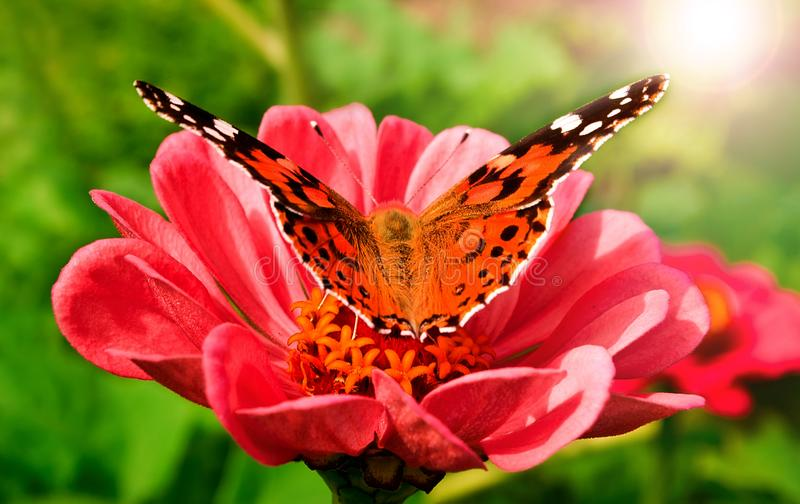 Beautiful butterfly on a pink gerbera in nature royalty free stock photos