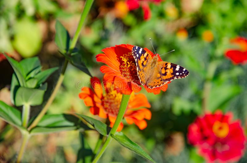 Beautiful butterfly on a red flower. Butterfly species Vanessa cardui stock photos