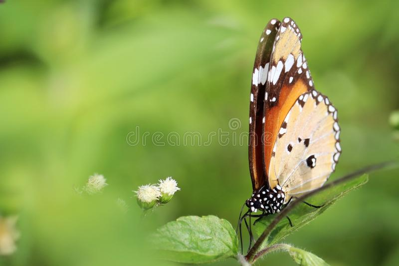 Beautiful butterfly royalty free stock image stock photography