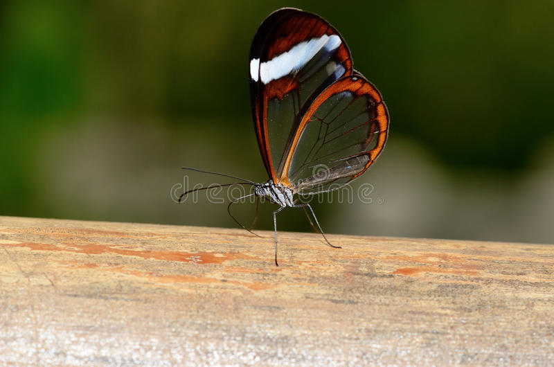 Beautiful butterfly with see through wings royalty free stock photos