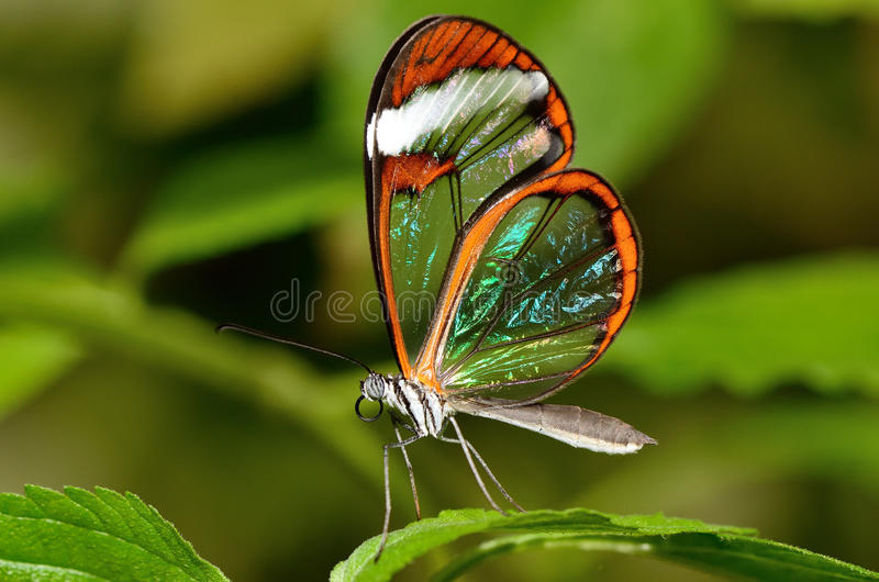 Beautiful butterfly with see through wings stock photo