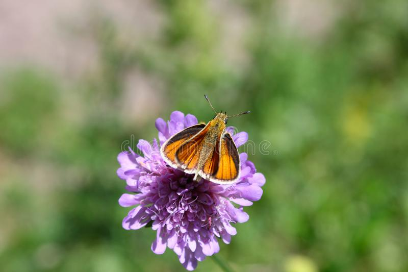 Butterfly sits on a flower in the grass. royalty free stock photography