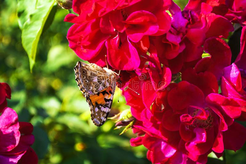 A beautiful butterfly sits on a pink flower. Close-up royalty free stock images