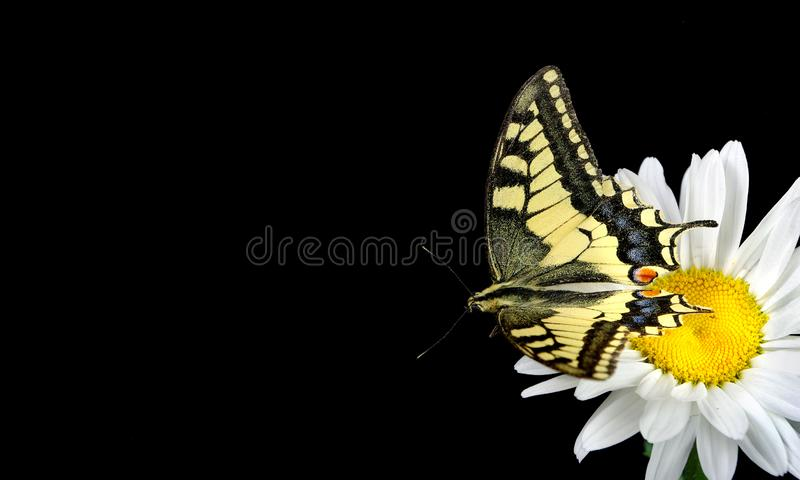 Beautiful butterfly sitting on a flower isolated on black. Colorful butterfly sitting on a daisy. Swallowtail butterfly, Papilio m royalty free stock images