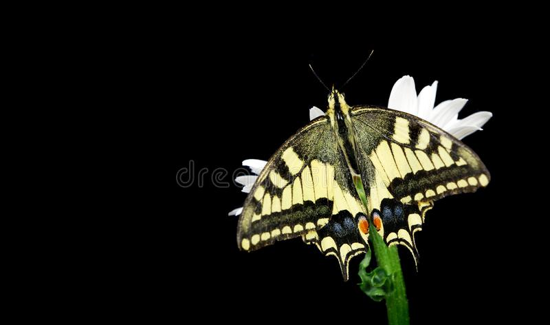 Beautiful butterfly sitting on a flower isolated on black. Colorful butterfly sitting on a daisy. Swallowtail butterfly, Papilio m royalty free stock photos