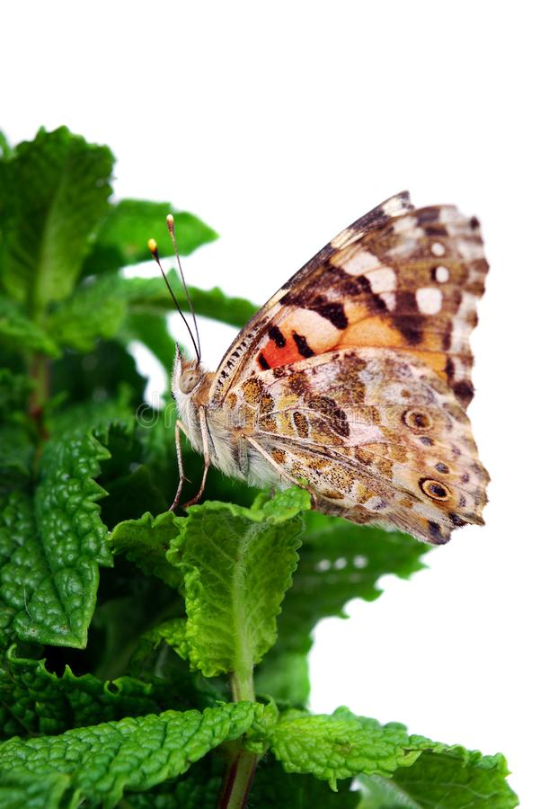 Beautiful butterfly sitting on a flower isolated on white. copy spaces stock images