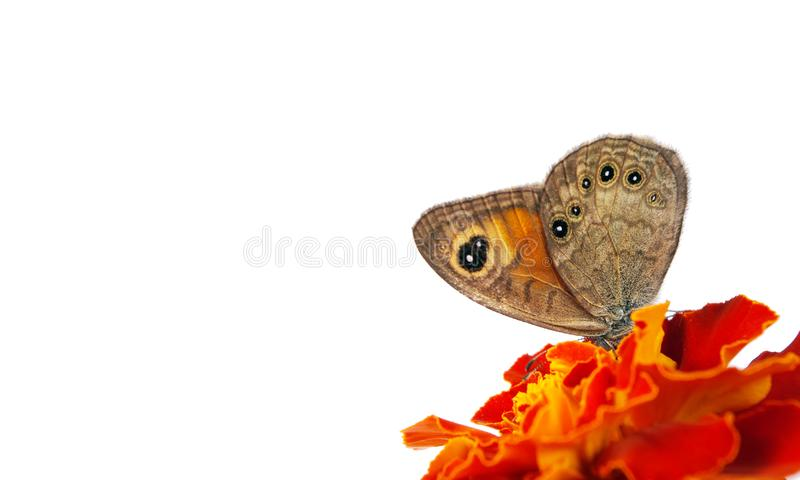 Beautiful butterfly sitting on a flower isolated on white. copy spaces stock photography