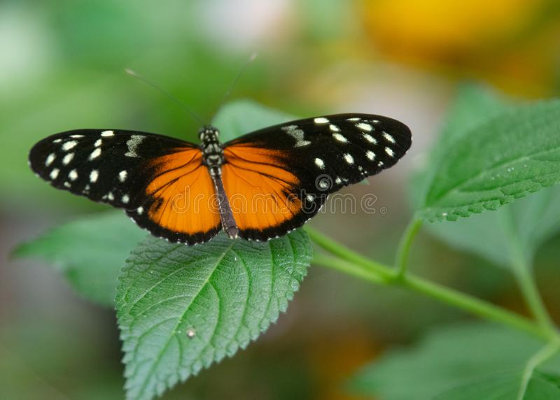 Black and orange butterfly sitting on a leaf. A beautiful butterfly sitting on a leaf. This butterfly is black in colour but has stunning patches of orange and stock image