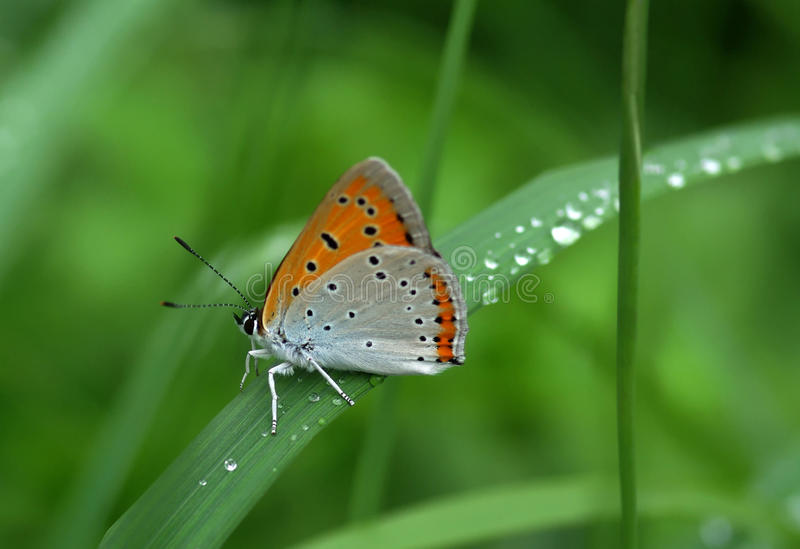 Beautiful butterfly sitting on leaf. With water drops royalty free stock photos