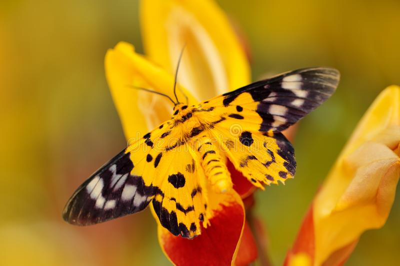 Beautiful butterfly sitting on the red yellow flower. Yellow insect in the nature green forest habitat, south of Asia. Moth in the royalty free stock photos