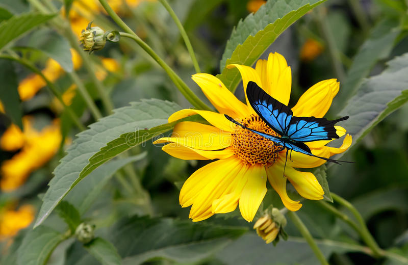 Beautiful butterfly sitting on a yellow flower rudbeckia. Beautiful butterfly with blue pattern on the wings is sitting on a yellow flower rudbeckia, blooming stock photo