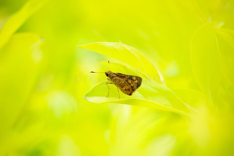 Beautiful butterfly is standing on leaves under sunrise light in royalty free stock images