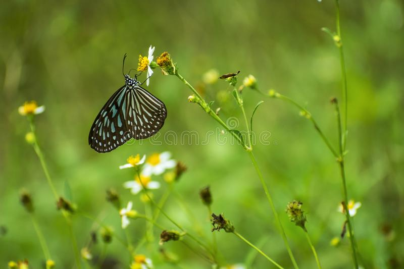 Beautiful butterfly stay on white flower with green background royalty free stock image