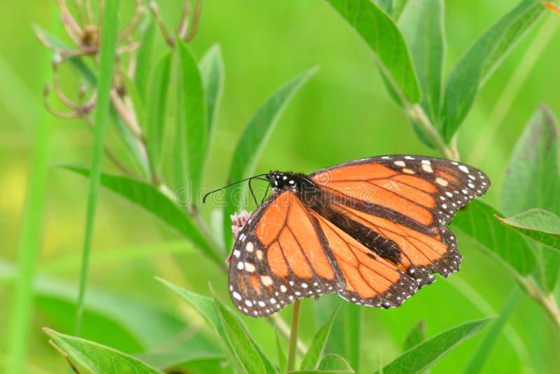 Beautiful Butterfly-Wings. Monarch-Butterfly feeding on nectar stock photo