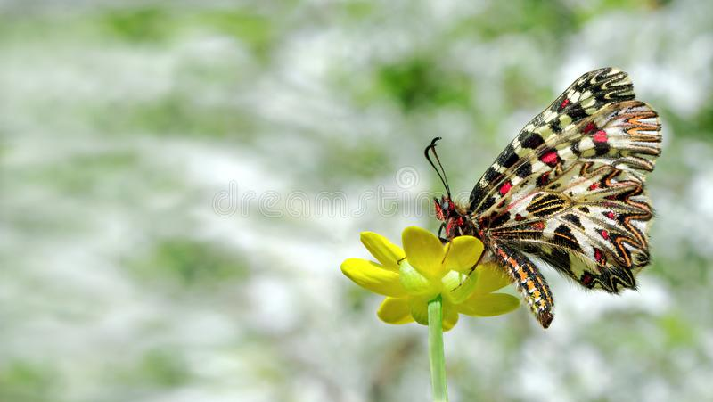 Beautiful butterfly on a yellow flower. spring butterflies. southern festoon. copy spaces. stock image