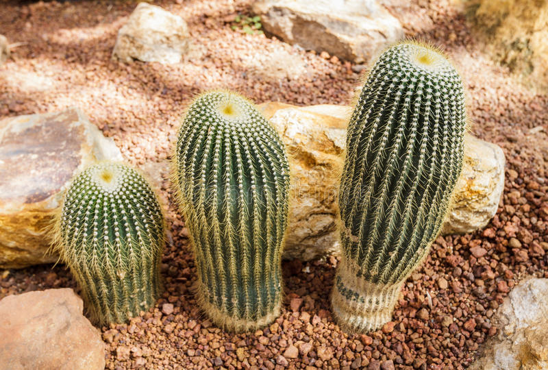 Beautiful cactus collection in botanical rocky garden, phallic shaped, decor and background royalty free stock photography