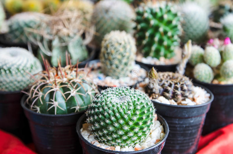 Beautiful cactus desert plant in potted.  stock photography