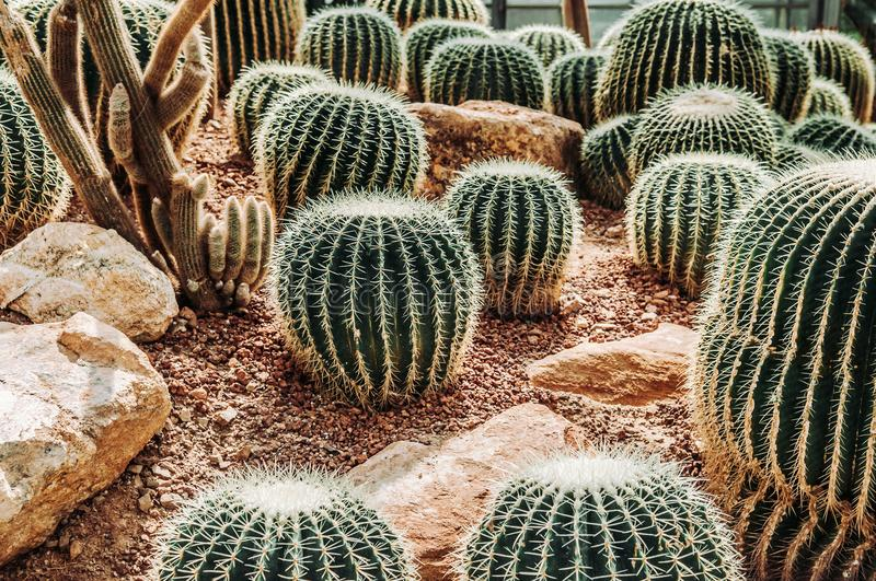 Cactus greenhouse with rocky ground and stones. Golden Barrel Ca stock photography
