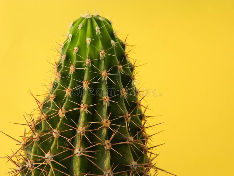 Beautiful cactus, isolated on yellow background royalty free stock photo