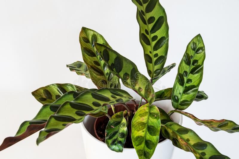 Calathea lancifolia plant (peacock plant) on a white background in a modern apartment. Beautiful Calathea Lancifolia houseplant (peacock plant rattlesnake stock photos