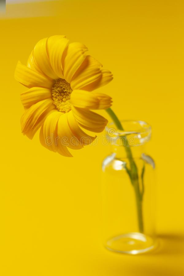 Beautiful calendula flower in glass jar on an yellow background . alternative medicine concept. minimalism style stock image
