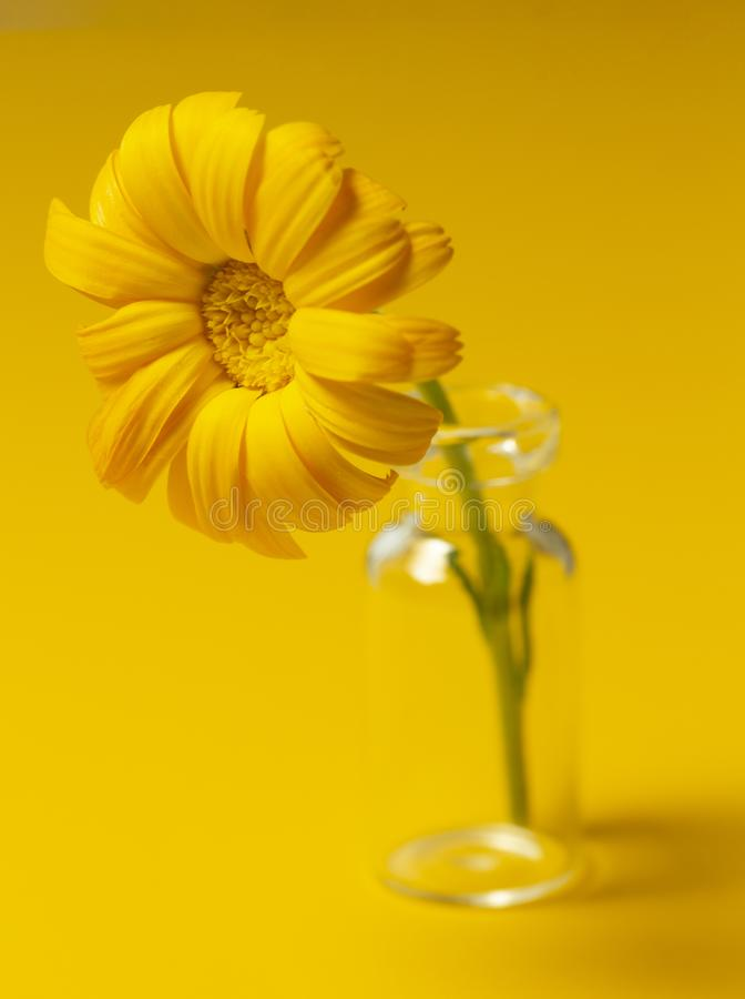 Beautiful calendula flower in glass jar on an yellow background . alternative medicine concept. minimalism style royalty free stock photography
