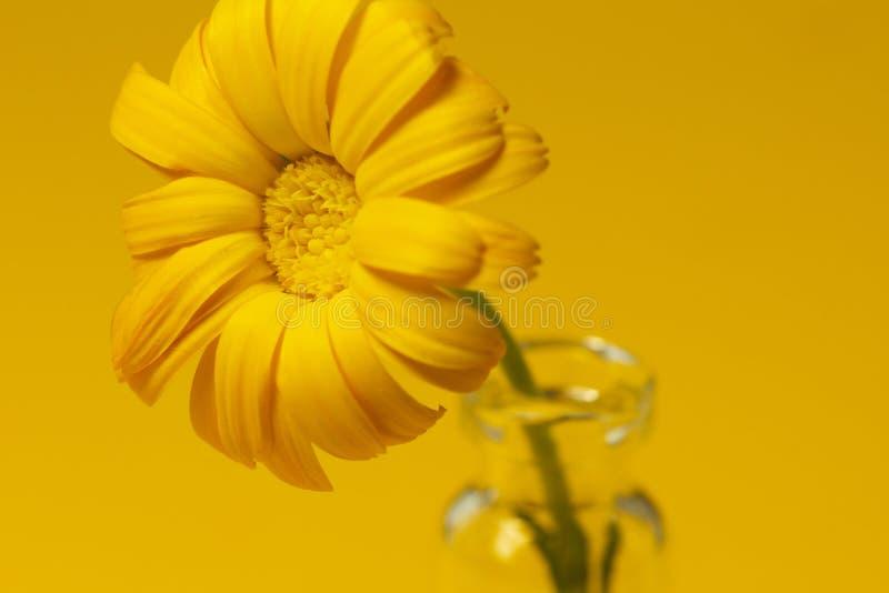 Beautiful calendula flower in glass jar on an yellow background . alternative medicine concept. minimalism style stock image