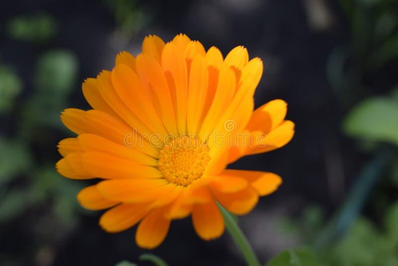 Beautiful Calendula in the garden. Orange calendula flowers stock image