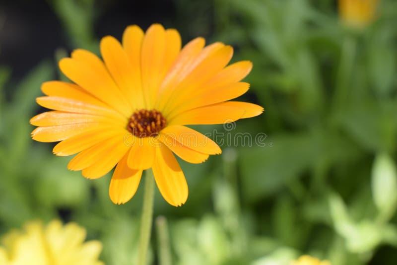 Beautiful Calendula in the garden. Orange calendula flowers stock photography