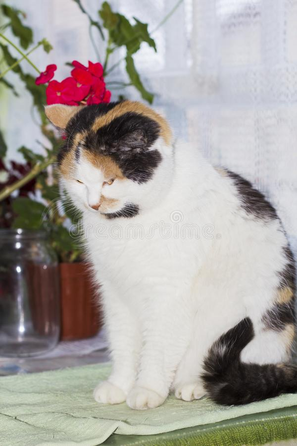 Beautiful calico cat sits bowed its head. Beautiful calico cat sits on table and bowed its head stock photos