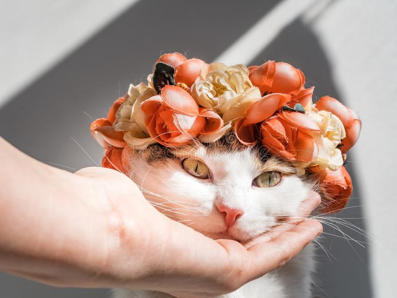 Beautiful Calico Cat with a wreath on his head. Cute kitty sits in flowers diadem on her head in the sun. Female hand. Stroking a cat royalty free stock photo