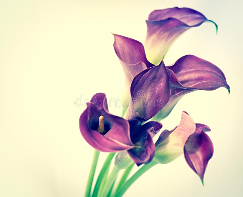 Beautiful calla flower. Made with color filters stock photo