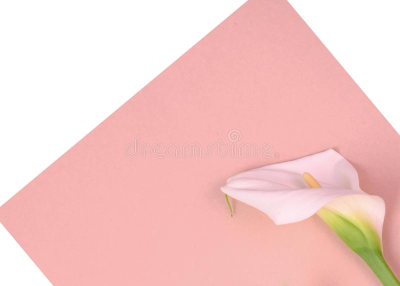 Beautiful callas. Flowers Place for inscription. Postcard. Beautiful calla flowers on a pink background. Place for inscription royalty free stock photo
