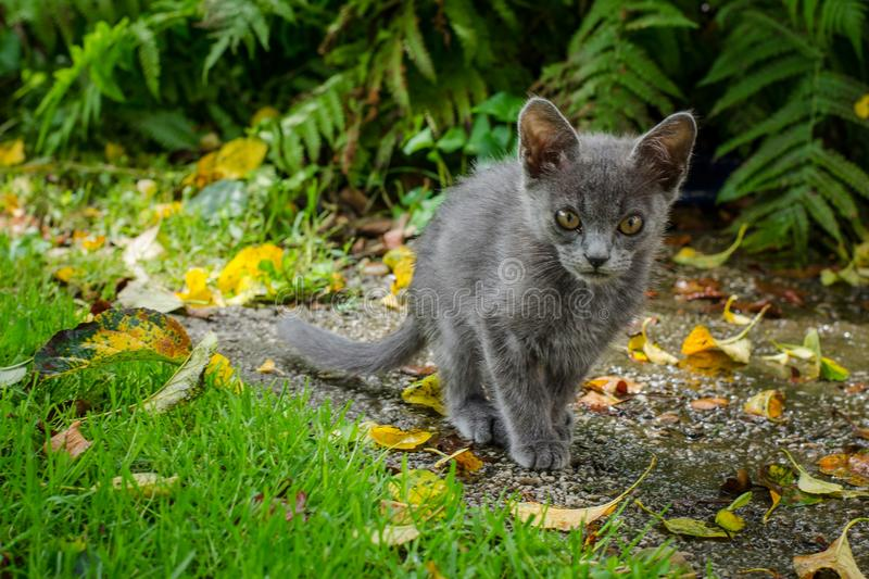Russian Blue cat walking through a garden with grass, leaves and ferns royalty free stock photos