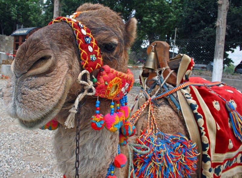Beautiful camel